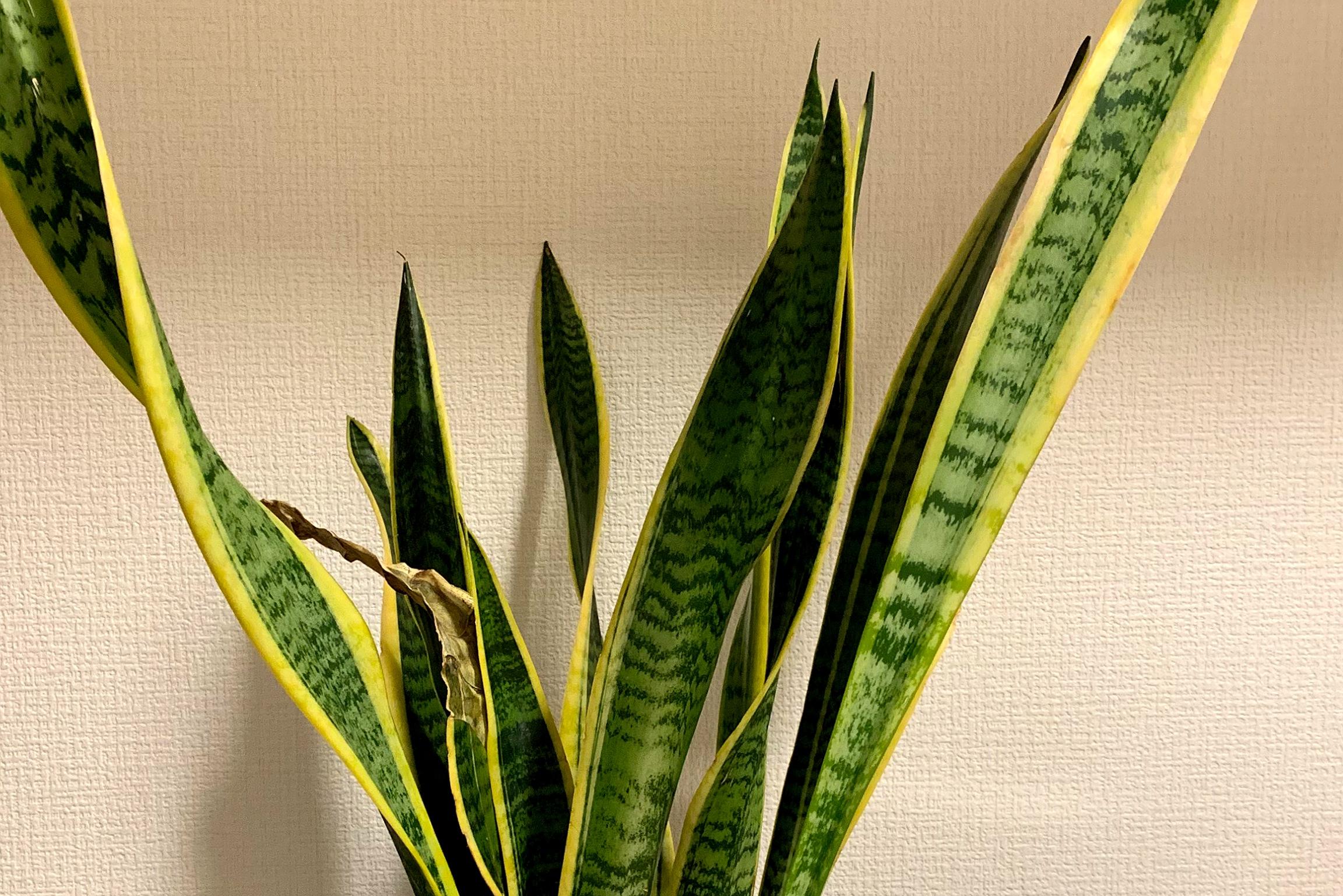 札幌の室内で植物を冬でも育てられる?観葉植物のおすすめ☆